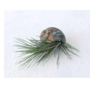 Airplant shell small brown