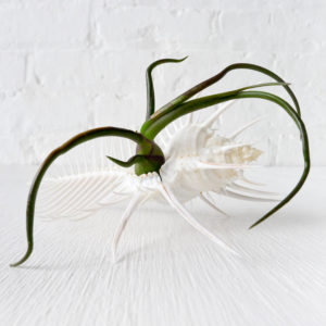 Large Spiny Sea Shell Air Plant Bulbosa