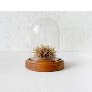 Real Spiky Sea Urchin Preserved in Glass Dome Wood Base