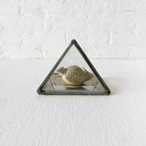 Real Coral Covered Strombus Shell Specimen in Beveled Glass Pyramid