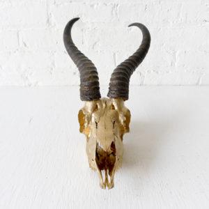Real Short Horned African Blesbok Skull 24k