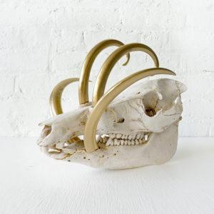 Boar Skull with 24k Horns