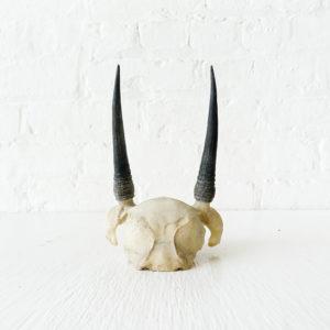 Mini African Steinbok Horn Skull Plate