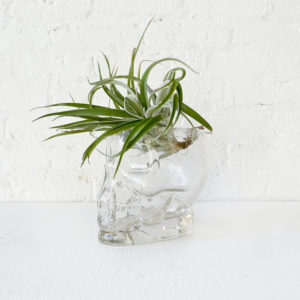 Large Crystal Skull See Air Plant Head Garden