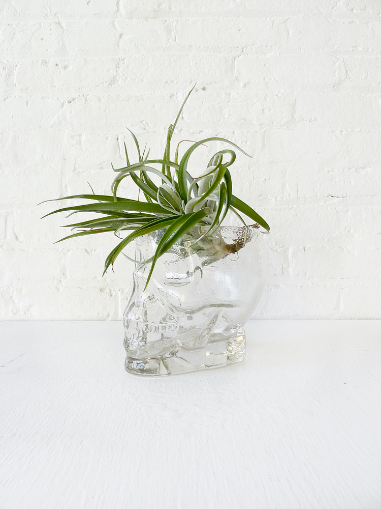 Large Crystal Skull See Air Plant Head Garden – EarthSeaWarrior