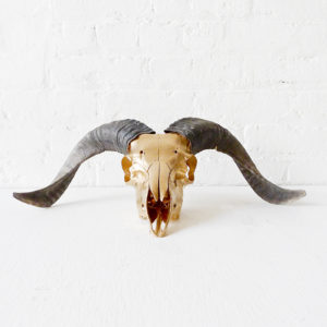 Real Ram Skull Airbrushed with 24k Gold