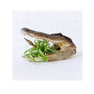 Air Plant Munchie Gator Head