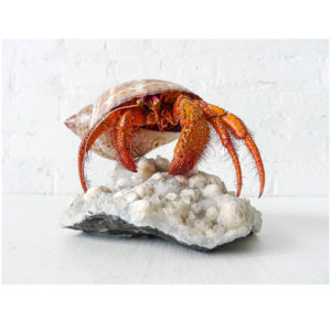 Miss Crabby is For Dinner – REAL Crab Specimen on Large India Druze Crystal Cluster