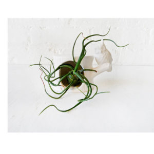 Air Plant Inhabiting White Owl Tree Trunk