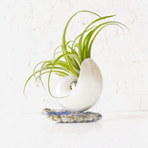 Sea Shell with Air Plant Garden with Mica Pedestal