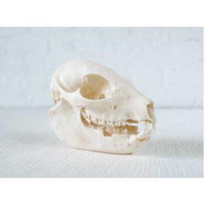 Skull- Bush Hyrax