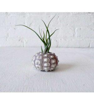 Air Plant Sea Urchin Creature