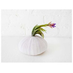 Large Sea Urchin Cteature w/ Live Air Plant